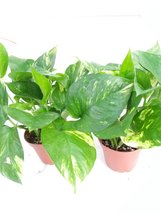"two - Golden Devil's Ivy - Pothos - Epipremnum - 4"" Pot - Very Easy to Grow - $14.99"