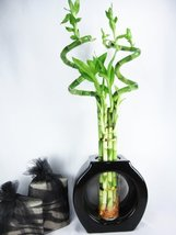 "Live Spiral 6 Style Huge 24"" Lucky Bamboo Plant Arrangement with ... - £34.74 GBP"