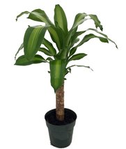 "Creme & Green Corn Plant - Dracaena - 6"" Pot - Easy to Grow House Plant - ₨1,085.49 INR"
