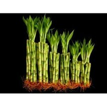 "60 Stalks of Straight Lucky Bamboo (20x4"", 20x6"" and 20x8"") - $24.99"