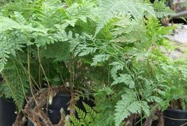 Rabbit's Foot Fern One Gallon - $24.00