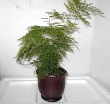 "Fern Leaf Plumosus Asparagus Fern - 4"" Pot-Ceramic color brown pot.w/Fer... - £10.10 GBP"