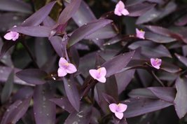 "Purple Heart Plant - Setcreasea - Indoors or Out - Easy - 4"" Pot - $11.99"