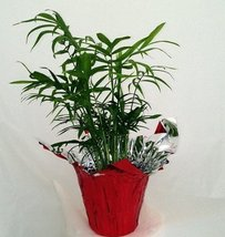 "Jmbamboo-victorian Parlor Palm - Chamaedorea - 4"" Pot - Decorative Pot C... - $9.99"