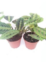 "*Two Red Prayer Plant Maranta House Plant 4"" Pot - $15.00"