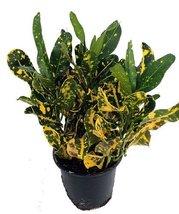"Banana Croton - 4"" Pot - Colorful House Plant - ₨687.58 INR"