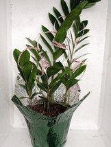 Valentine-cover decorative Rare ZZ Plant - Zamioculcas zamiifolia - Houseplan... - ₨1,169.36 INR