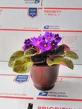 "Novelty African Violet - 4"" with Ceramic Pot / Better Growth - Best Blooming ... - $15.99"