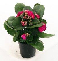 Rosebud Pink Kalanchoe Calandivia 4 Inch Pot From Jmbamboo - $228,84 MXN