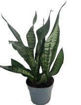"Snake Plant, Mother-In-Law's Tongue - Sanseveria - 6"" Pot - ₨1,103.11 INR"