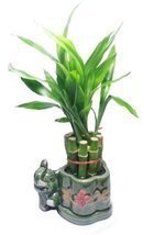 Lucky Bamboo Plant - 10 Stalks - $9.99