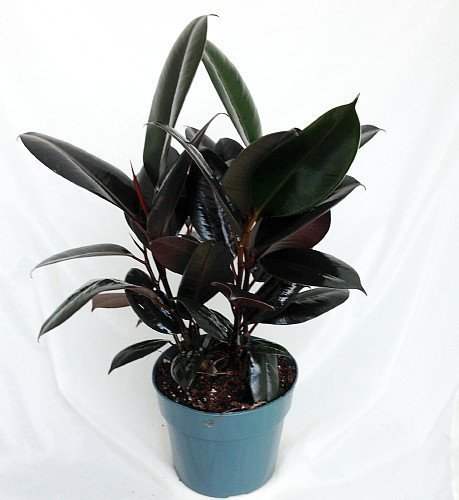 "Jmbamboo -Burgundy Rubber Tree Plant - Ficus - An Old Favorite - 4"" Pot"