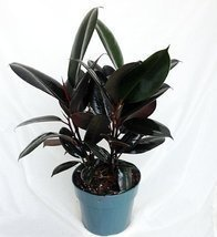 "Jmbamboo -Burgundy Rubber Tree Plant - Ficus - An Old Favorite - 4"" Pot - ₨648.62 INR"