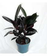 "Jmbamboo -Burgundy Rubber Tree Plant - Ficus - An Old Favorite - 4"" Pot - £7.10 GBP"