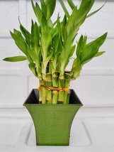 "2 Tier Lucky Bamboo - 6"" & 4"" Lucky Bamboos in 2 Tiers - Feng Shui... - £18.52 GBP"