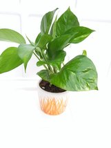gitf Golden devil's Ivy Pothos  4''inches Pot ceramic - $13.99