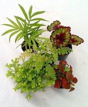 "Jmbamboo-collection-Terrarium & Fairy Garden Plants - 5 Plants in 2"" pots - $324,00 MXN"
