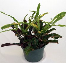 """Dreadlocks Croton - 4"""" Pot - Colorful House Plant - Easy to Grow unique from ... - ₨549.92 INR"""