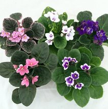 """Novelty African Violet - 4"""" Clay Pot/Better Growth - Best Blooming Plant/uniq... - ₨687.58 INR"""