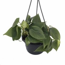 "Heart Leaf Philodendron - Easiest House Plant to Grow - 6"" Hanging Basket - ₨920.36 INR"