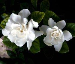 "Corsage Gardenia Plant - Gardenia grandiflora - 6"" Pot - $15.50"