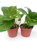"Two Golden Devil's Ivy Pothos Epipremnum 4"" Pot Very Easy to Grow - $14.99"