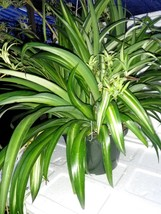 """Ocean Spider Plant - Easy to Grow - Cleans the Air - NEW - 8"""" Hanging Ba... - $533,77 MXN"""