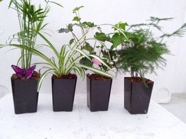 "Holiday Plants Fairy Garden Terrarium Plants - 4 Plants in 3.1/4"" Pots - $17.99"