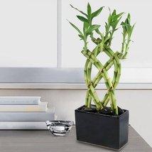 Lucky Bamboo 8 Cane Trellis Plant Arrangement - ₨1,582.33 INR