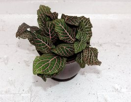 """Red Veined Nerve Plant - Fittonia - Easy House Plant - 4""""ceramic-Pot color re... - ₨894.06 INR"""