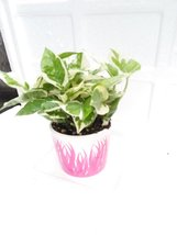 Double Dip Devil's Ivy epipremnum Aureum 4''inches Pot  ceramic - $14.99
