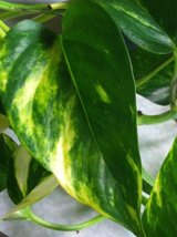 "jmbamboo-Golden Devil's Ivy - Pothos - Epipremnum - 4"" Hanging Pot - Very Eas... - $10.99"