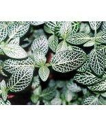 """Silver Nerve Plant - Fittonia verschaffeltii - 4"""" Pot - ₨331.00 INR"""