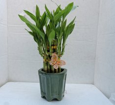 jmbamboo-Live 2 Layer Cake Lucky Bamboo Plant Arrangement w/butterfly & ... - £14.66 GBP