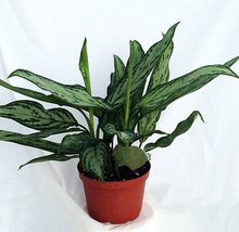 "Silver Queen - Plant - Aglaonema - Low Light - 6"" Pot-unique From Jmbamboo - $14.99"