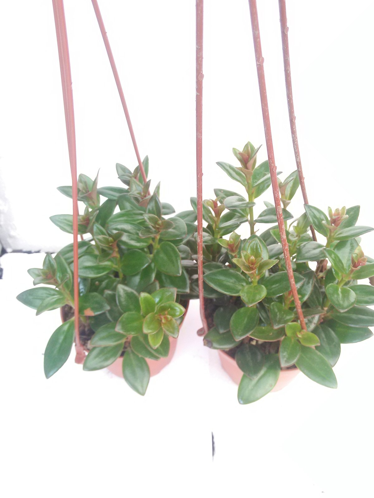"*Two Goldfish Plant - 4"" Hanging Basket - Blooms Constantly"