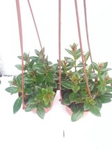 "*Two Goldfish Plant - 4"" Hanging Basket - Blooms Constantly - $17.98"
