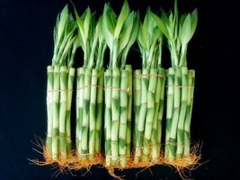 50 Stalks of 6 Inches Straight Lucky Bamboo sold by JM Bamboo - £19.29 GBP