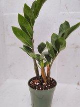 jmbamboo- ZZ Plant - Zamioculcas Zamiifolia - 4'' Pot - $9.99