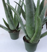 Aloe Vera Plant Mature 3 Plants -Strong Aloe Vera Curative 4-inch Pot 8'... - $22.99