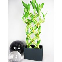 Live 8 Braided Style Lucky Bamboo Plant Arrangement with Black Vase - $13.99