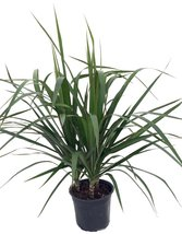 "Madagascar Dragon Tree - Dracaena marginata - 6"" Pot - Easy to Grow Hous... - $15.00"