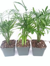 *Three Victorian Parlor Palm Chamaedorea Indestructable 2.5 Pot - £10.10 GBP