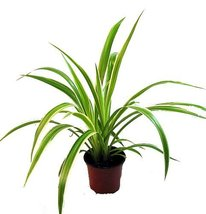 "Ocean Spider Plant - Easy to Grow - Cleans the Air - NEW - 3.5"" Pot - $6.99"