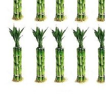 100 Pieces of 6 Inches Straight Lucky Bamboo sold by JM Bamboo - £27.02 GBP