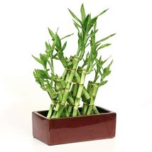 Lucky Bamboo Arrangement Are Intertwined to Form a Pyramid Shape with Ce... - £22.38 GBP