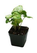 Syngonium 'Pixie' - Butterfly Plant - $190,50 MXN