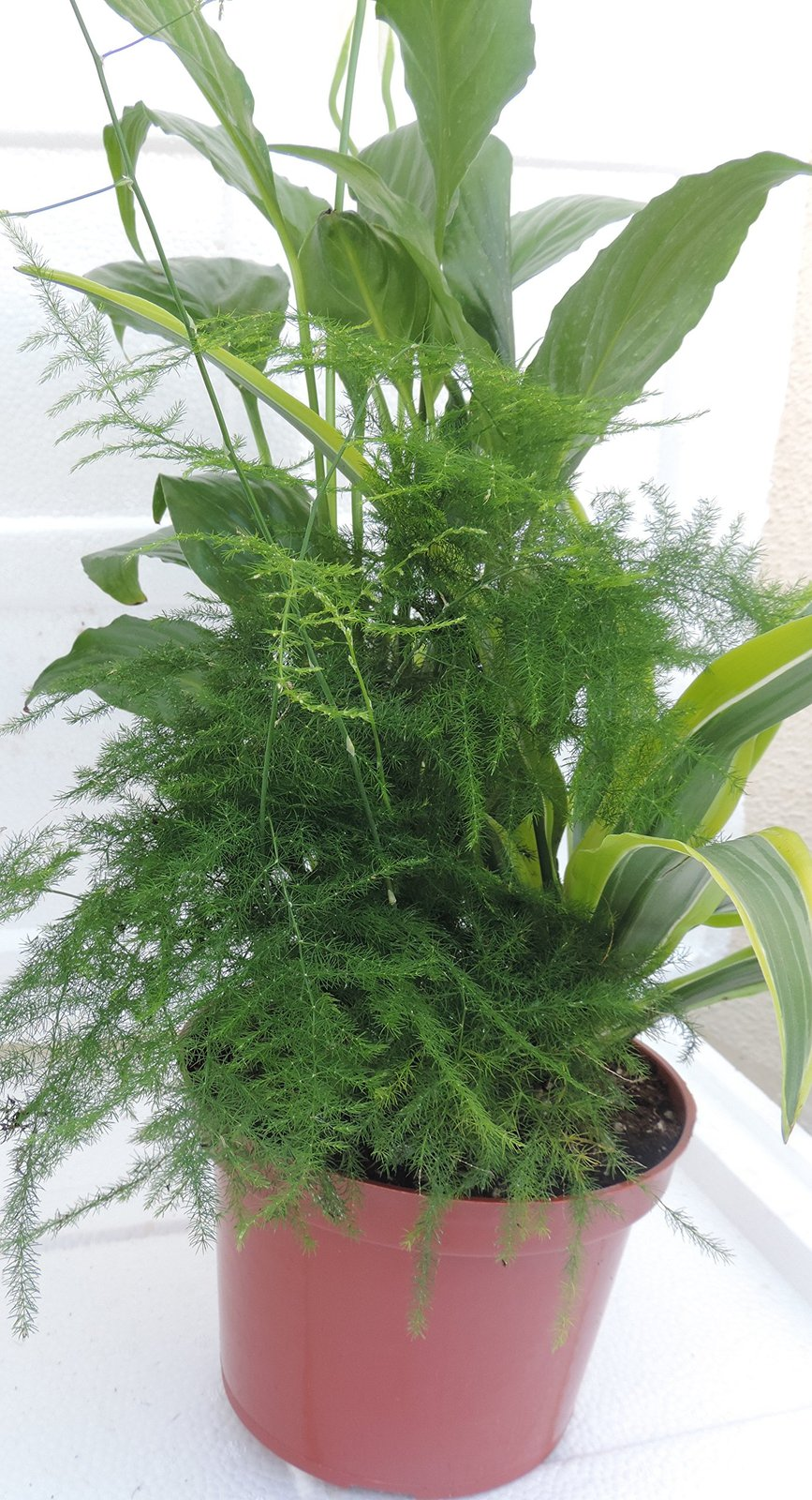 Terrarium & Fairy Garden Plants - 6'' pot -Assortment of 3 Different Plants