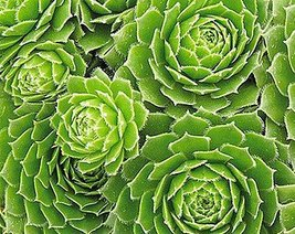Jmbamboo - Hens & Chicks - Semperviven - 4'' Pot Great House Plant - ₨549.92 INR