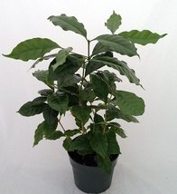 """Jmbamboo - Arabica Coffee Bean Plant - 6"""" Pot - Grow & Brew Your Own Unique F... - ₨1,238.19 INR"""